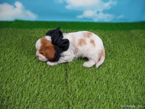 キャバリアの子犬(ID:1255511365)の3枚目の写真/更新日:2019-12-26