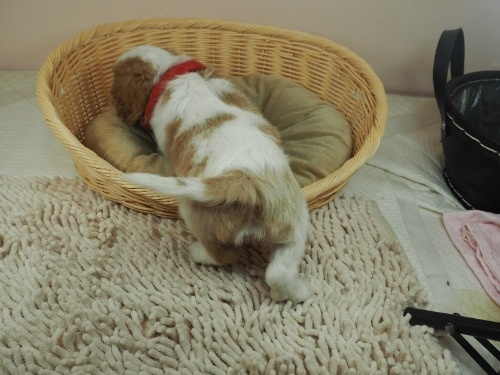 キャバリアの子犬(ID:1255511365)の4枚目の写真/更新日:2019-12-26