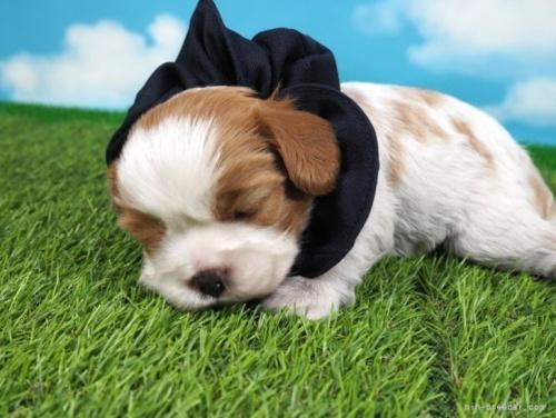 キャバリアの子犬(ID:1255511365)の5枚目の写真/更新日:2021-10-11