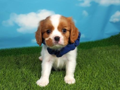 キャバリアの子犬(ID:1255511366)の1枚目の写真/更新日:2019-08-15