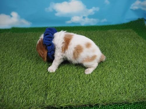 キャバリアの子犬(ID:1255511366)の3枚目の写真/更新日:2018-02-19