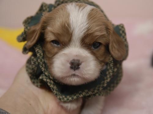 キャバリアの子犬(ID:1255511367)の1枚目の写真/更新日:2018-02-19