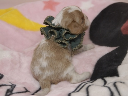 キャバリアの子犬(ID:1255511367)の3枚目の写真/更新日:2018-02-19