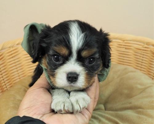 キャバリアの子犬(ID:1255511368)の1枚目の写真/更新日:2018-02-19