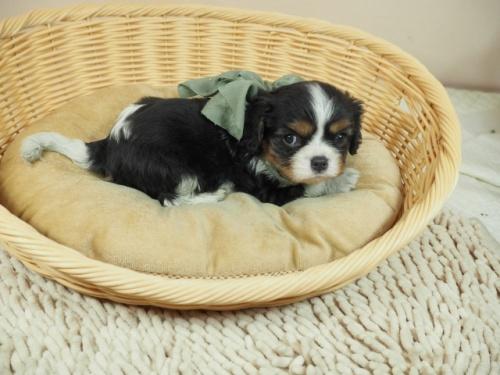 キャバリアの子犬(ID:1255511368)の2枚目の写真/更新日:2018-02-19
