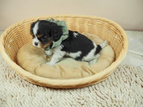 キャバリアの子犬(ID:1255511368)の3枚目の写真/更新日:2018-02-19
