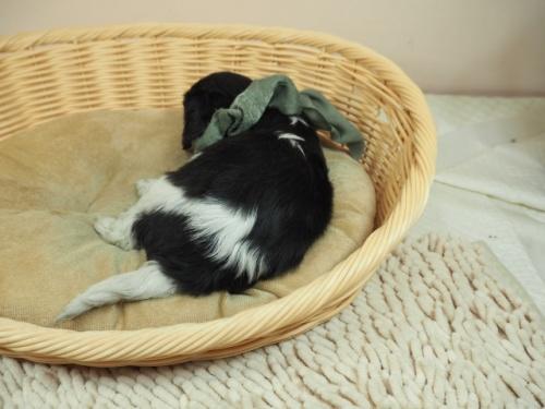 キャバリアの子犬(ID:1255511368)の4枚目の写真/更新日:2018-02-19