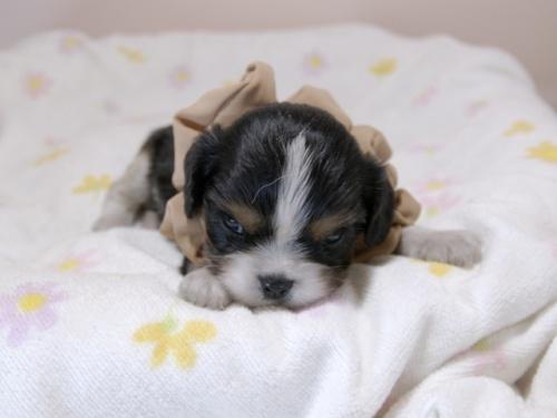 キャバリアの子犬(ID:1255511370)の1枚目の写真/更新日:2018-02-19