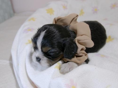 キャバリアの子犬(ID:1255511370)の3枚目の写真/更新日:2018-02-19