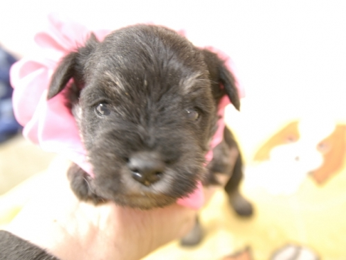 ミニチュアシュナウザーの子犬(ID:1255511372)の1枚目の写真/更新日:2018-02-28