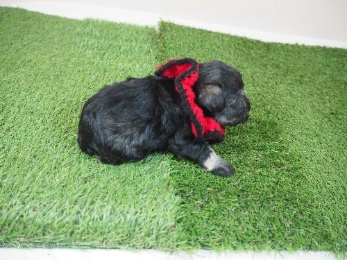 ミニチュアシュナウザーの子犬(ID:1255511372)の2枚目の写真/更新日:2020-04-03