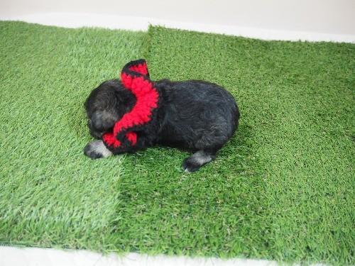 ミニチュアシュナウザーの子犬(ID:1255511372)の3枚目の写真/更新日:2018-02-28