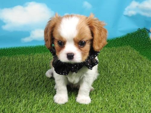 キャバリアの子犬(ID:1255511373)の1枚目の写真/更新日:2019-11-18