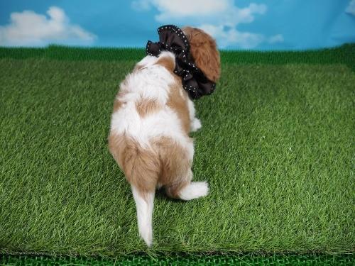 キャバリアの子犬(ID:1255511373)の4枚目の写真/更新日:2019-11-18