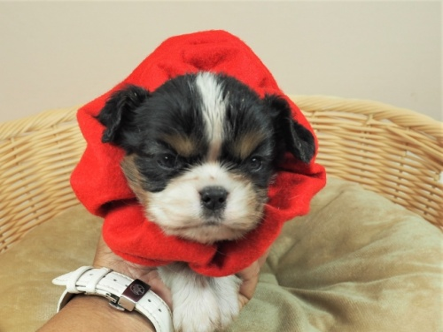 キャバリアの子犬(ID:1255511374)の1枚目の写真/更新日:2018-02-28