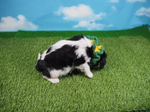 キャバリアの子犬(ID:1255511374)の2枚目の写真/更新日:2018-02-28