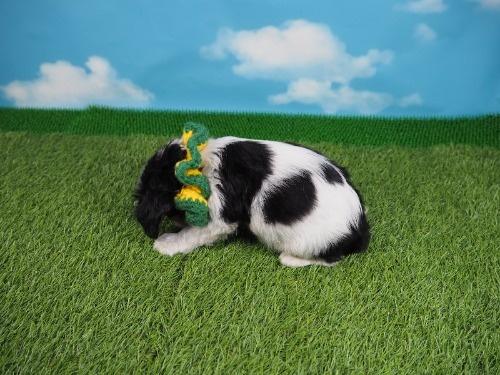 キャバリアの子犬(ID:1255511374)の3枚目の写真/更新日:2018-02-28