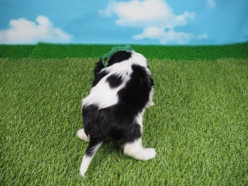 キャバリアの子犬(ID:1255511374)の4枚目の写真/更新日:2019-11-18