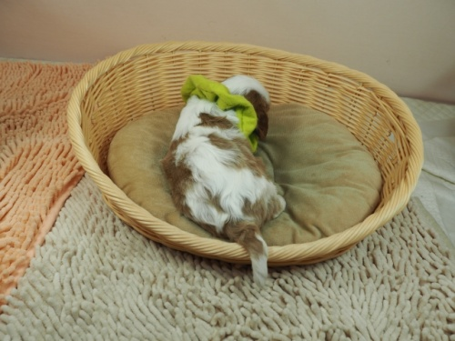 キャバリアの子犬(ID:1255511375)の4枚目の写真/更新日:2020-04-30