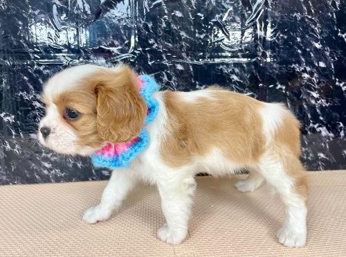 キャバリアの子犬(ID:1255511376)の2枚目の写真/更新日:2021-04-01