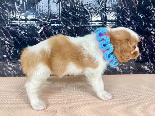 キャバリアの子犬(ID:1255511376)の3枚目の写真/更新日:2021-04-01