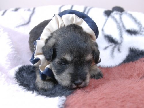 ミニチュアシュナウザーの子犬(ID:1255511377)の1枚目の写真/更新日:2019-01-25