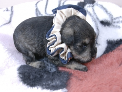 ミニチュアシュナウザーの子犬(ID:1255511377)の2枚目の写真/更新日:2018-03-09