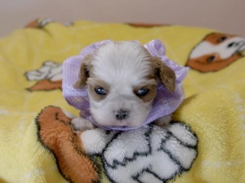 キャバリアの子犬(ID:1255511378)の1枚目の写真/更新日:2018-03-09