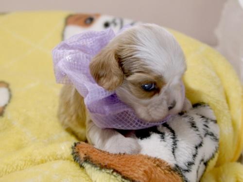 キャバリアの子犬(ID:1255511378)の2枚目の写真/更新日:2018-03-09