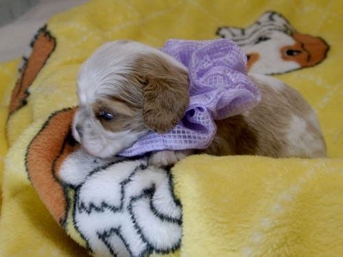 キャバリアの子犬(ID:1255511378)の3枚目の写真/更新日:2018-03-09