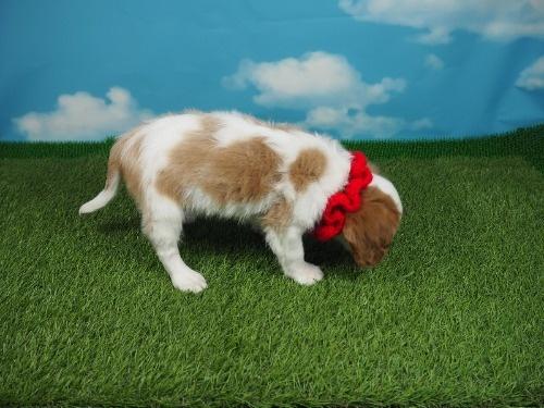 キャバリアの子犬(ID:1255511380)の2枚目の写真/更新日:2018-03-19