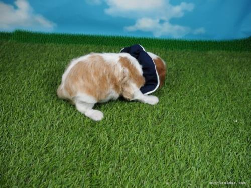 キャバリアの子犬(ID:1255511381)の2枚目の写真/更新日:2018-03-19
