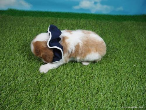キャバリアの子犬(ID:1255511381)の3枚目の写真/更新日:2020-06-23