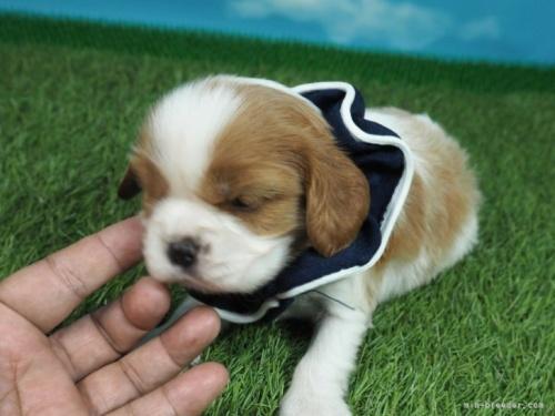 キャバリアの子犬(ID:1255511381)の5枚目の写真/更新日:2019-02-16