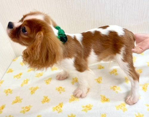 キャバリアの子犬(ID:1255511382)の2枚目の写真/更新日:2018-03-19