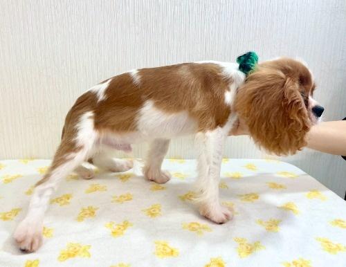 キャバリアの子犬(ID:1255511382)の3枚目の写真/更新日:2018-03-19