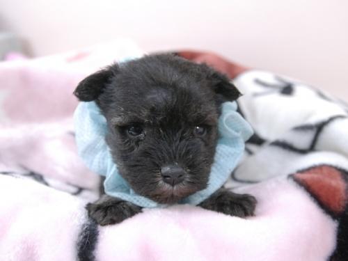 ミニチュアシュナウザーの子犬(ID:1255511383)の1枚目の写真/更新日:2019-08-15