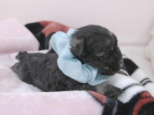 ミニチュアシュナウザーの子犬(ID:1255511383)の2枚目の写真/更新日:2019-08-15