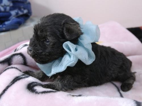 ミニチュアシュナウザーの子犬(ID:1255511383)の3枚目の写真/更新日:2018-05-21