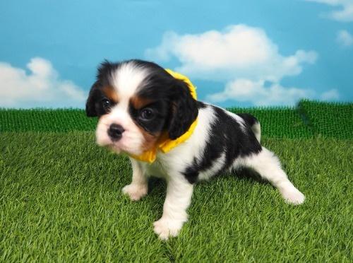 キャバリアの子犬(ID:1255511384)の1枚目の写真/更新日:2018-04-02