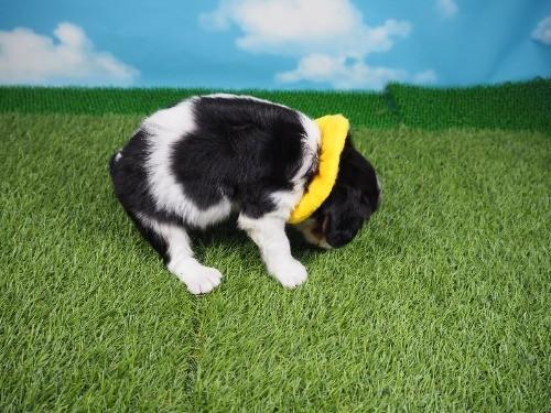 キャバリアの子犬(ID:1255511384)の2枚目の写真/更新日:2020-02-02