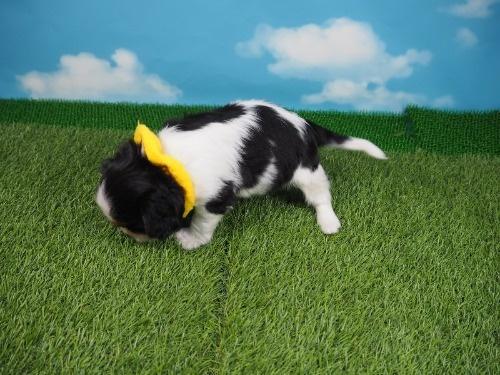 キャバリアの子犬(ID:1255511384)の3枚目の写真/更新日:2020-02-02