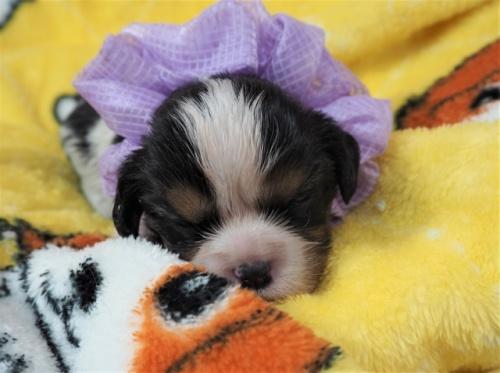 キャバリアの子犬(ID:1255511385)の1枚目の写真/更新日:2020-06-23