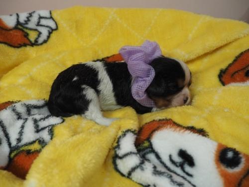 キャバリアの子犬(ID:1255511385)の2枚目の写真/更新日:2020-06-23