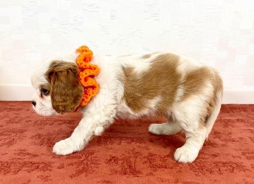 キャバリアの子犬(ID:1255511386)の3枚目の写真/更新日:2021-09-10