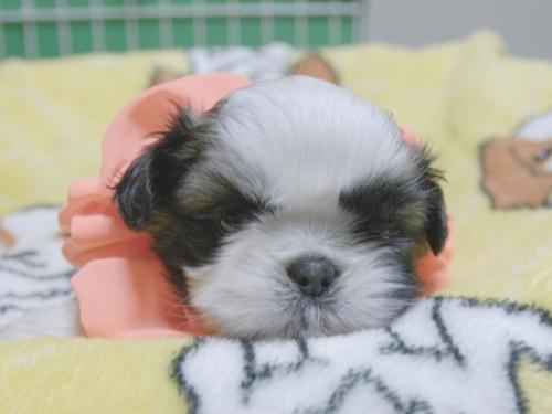シーズーの子犬(ID:1255511387)の1枚目の写真/更新日:2018-04-18