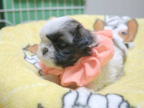 シーズーの子犬(ID:1255511387)の2枚目の写真/更新日:2018-04-18