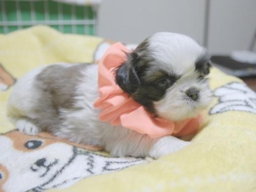 シーズーの子犬(ID:1255511387)の3枚目の写真/更新日:2018-04-18