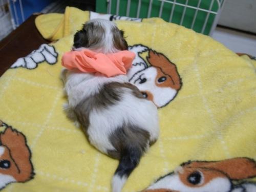 シーズーの子犬(ID:1255511387)の4枚目の写真/更新日:2018-04-18
