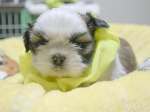 シーズーの子犬(ID:1255511388)の1枚目の写真/更新日:2018-04-18